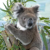 Dakar, a young adult male that received a faecal transplant from wild koalas.