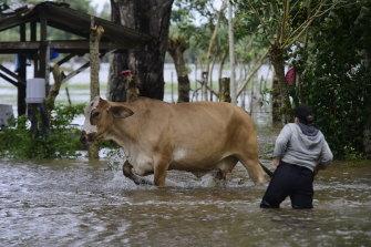 A woman takes cattle to a safe area in El Triunfo de la Cruz, Tela, Honduras.