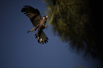 Perth's black cockatoos are running out of food, as their habitat dwindles across the city.
