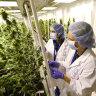 Please Explain podcast: New Zealand's vote on marijuana may spark law reform debate in Australia