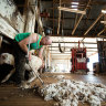 Click go the shearers as COVID 'crisis' bucks wool industry