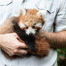 Red panda breeding program produces triplets for the first time