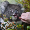 Koala council promises 'black and white' orders to protect SEQ habitats
