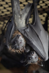 Young grey headed flying fox twin bats, dubbed Gideon (left) and Aidan hang together on January 27 at the Shoalhaven Bat Clinic and Sanctuary at Bomaderry in NSW.