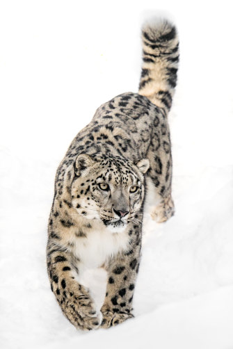 One snow leopard is killed each day, on average, to feed demand for their parts, often as trophies.