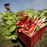 How to grow desirable ruby red rhubarb in your Sydney suburb