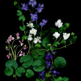 Fragrant heirloom violets.