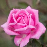 Plenty of petals on the Jurlique rose.