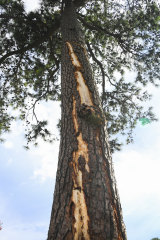 In harm's way: A pine tree is stripped of bark after being struck by lightning on the course at East Lake Golf Club.