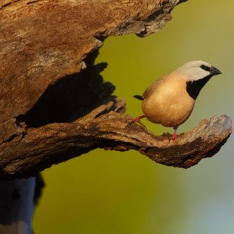 A black-throated finch.