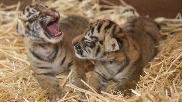he two female cubs were born on January 24 to the park's 14-year-old tiger Nika at 9.40am and 10.50am.