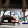 Alex Summerell has developed a DNA test to track the origin of black market echidnas