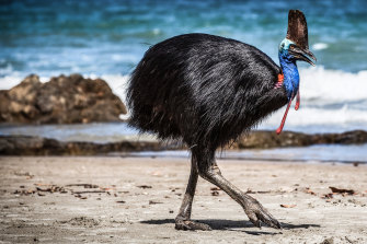 A female cassowary on the beach at Moresby Range National Park.