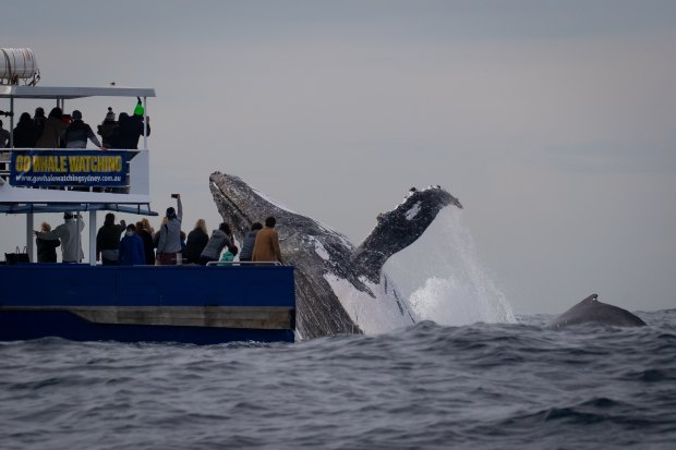 Whales perform 'every trick in the book' off the harbour