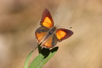 The Eltham copper butterfly is found only at several sites around Eltham and in isolated spots in Castlemaine, Bendigo and Kiata, near Nhill.