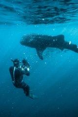 Cameraman Jon Shaw films a whale shark at Ningaloo Reef.