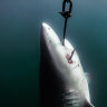 Great Barrier Reef shark culling to end as Humane Society bites back