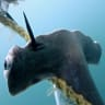 Endangered hammerhead sharks die on baited hooks in Great Barrier Reef