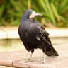 Clever crows trained to pick up litter at French theme park