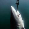 Shark control program to be shut down in the Great Barrier Reef