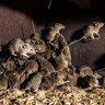 'Everywhere's bad': Farmers eye long campaign against mouse plague
