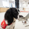 Doggy detectives: how our canine friends are sniffing out COVID-19
