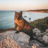 Rottnest Island's 'zero-dollar' quokka birthday price tag closer to $100,000