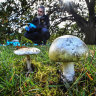 Poison warning on death cap mushrooms after man in his 70s dies