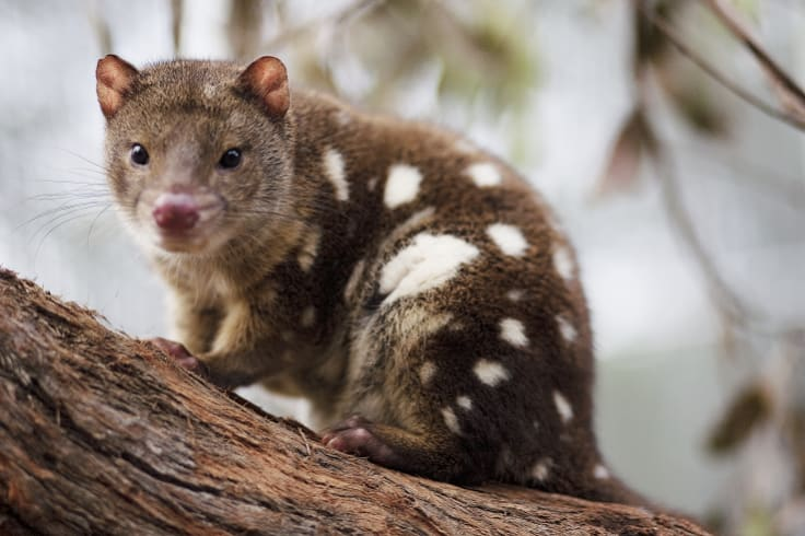 The endangered tiger quoll.