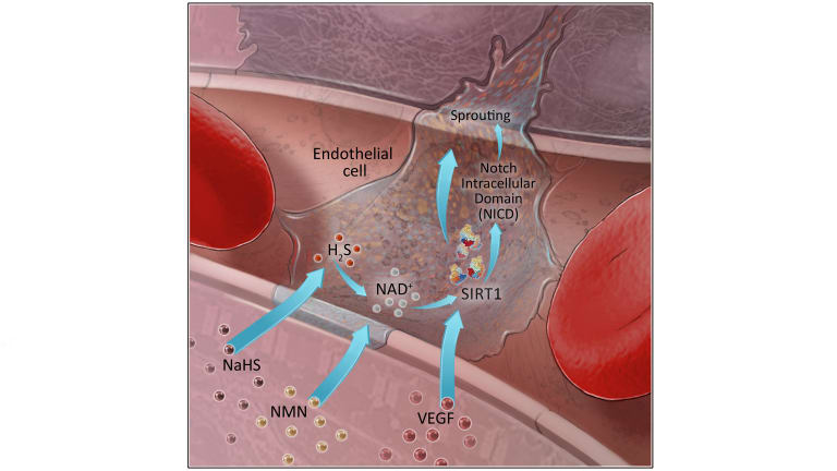 This graphic shows the role of NMN in building new blood vessels. The image shows NMN stimulating NAD+, which in turn stimulates SIRT1 to build new capillaries.
