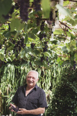 George Giannakakis under his pergola dangled with bunches of Shiraz grapes.