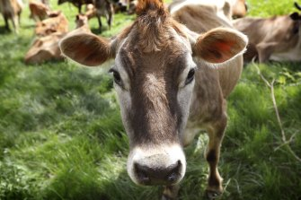 Apart from flatulence and the clearing of land for grazing, cow urine is another area of concern for the health of the planet.
