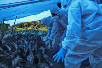 Health workers in protective suits begin culling of ducks after H5N8 strain of bird flu was detected among domestic birds in Alappuzha,  India, last month.