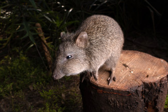 A potoroo given the name Ron stands on a stump at the Australian Wildlife Health Centre at the Healesville Sanctuary outside Melbourne on January 30.