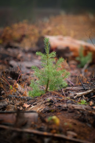 Douglas fir as a seedling.
