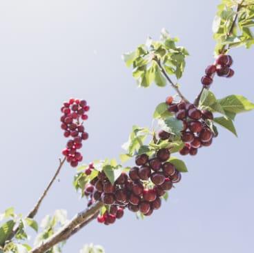 Cherries at Cherry Growers Australia president Tom Eastlake's orchard.