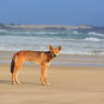 Fencing to be installed after 'aggressive' dingo attacks on Fraser Island