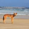 'One of the worst days of their lives': Dingo bites boy on Fraser