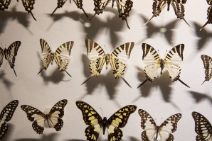 John Lamberton's Lepidoptera collected for pleasure while he worked as a CSIRO organic chemist.