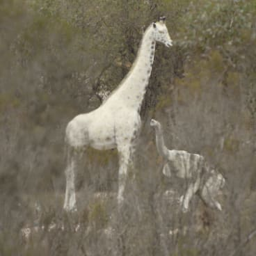 Giraffe and elephant in scrub beside the Kings Highway near Braidwood.