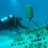 Camp and a colleague checking a coral nursery on the Opal reef.