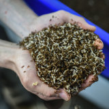 Karma3 is a Thomastown-based start-up which bred flies whose larvae turn waste into animal feed.