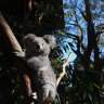 Destruction of Appin koala habitat a disgrace