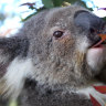 'Robust' negotiations end Coalition division over koala policy