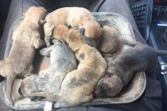 The puppies on their way to their new Newman home.