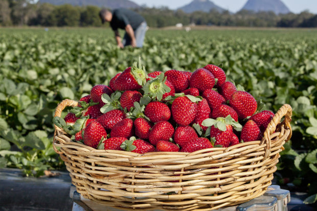 Berry prices skyrocket while farmers get creative to lure workers