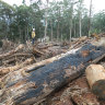 Logging debris on a Toolangi coupe in Victoria's Central Highlands last June.