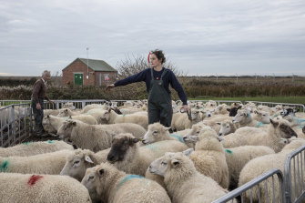 Rona Thompson and her father David Thompson grade sheep for breeding in Romney Marsh, England. She's worried a no-deal Brexit will reduce the value of sheep stock and meat.