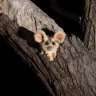 'Devastating impacts' as marsupial habitat burnt in north Queensland