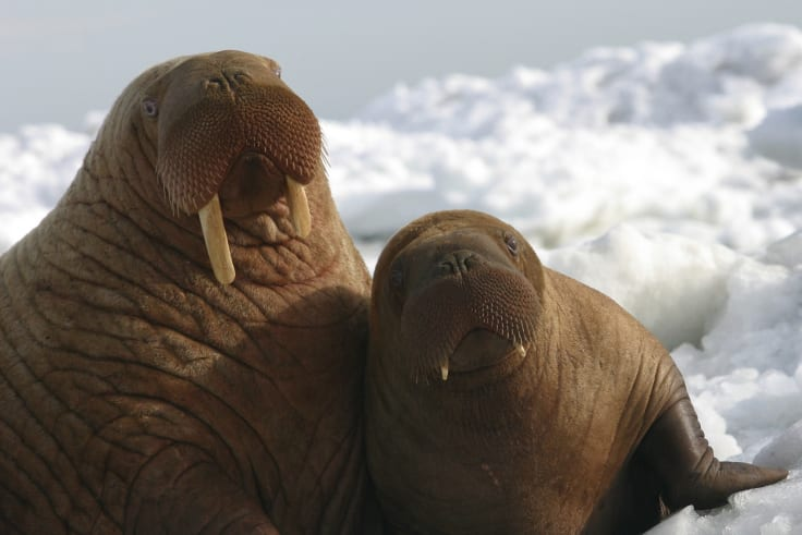 Walrus bones may hold the key to the demise of the Vikings.